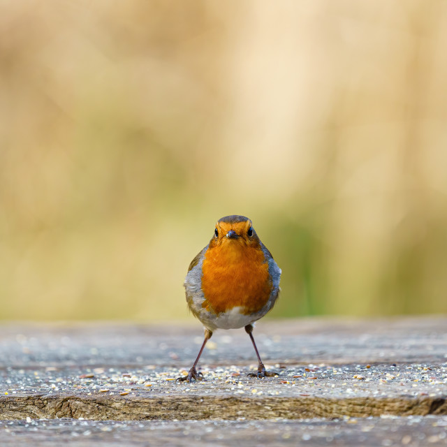 """European Robin (Erithacus rubecula) standing on a bench, looking into the..."" stock image"
