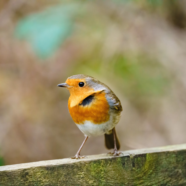 """European Robin (Erithacus rubecula) standing on wooden fence, in Essex, England"" stock image"