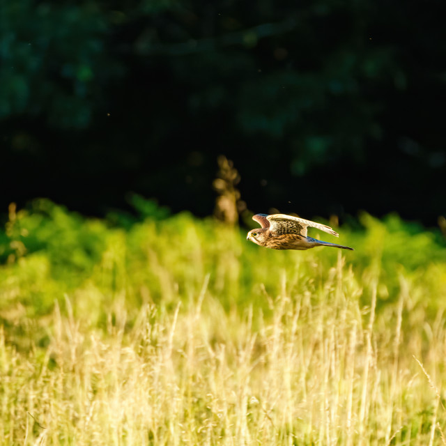 """Common Kestrel (Falco tinnunculus) in flight, taken in England"" stock image"
