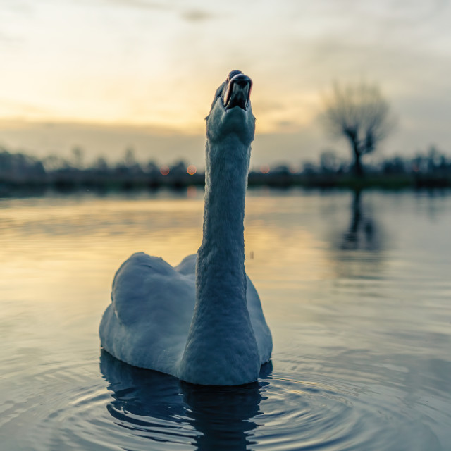 """Mute swan (Cygnus olor) on a lake at dawn, stretching, taken in the UK"" stock image"