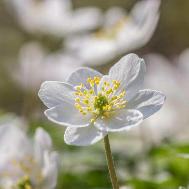 """Anemone nemorosa,woodanemone"" stock image"