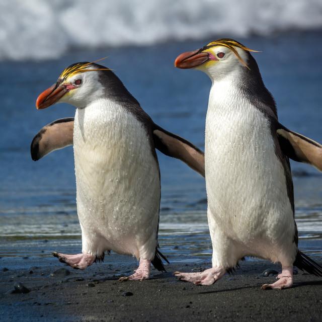 """Royal Penguin (Eudyptes schlegeli)"" stock image"