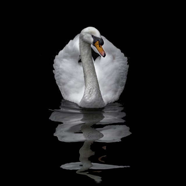 """""""Swan Song"""" stock image"""