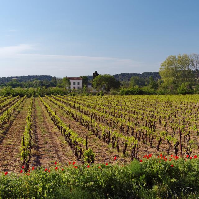 """Corbieres vineyard"" stock image"