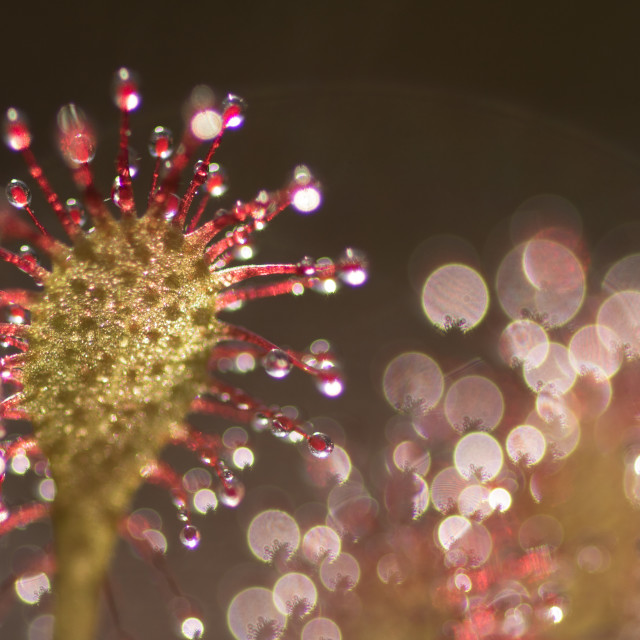 """close up drosera,sundew"" stock image"
