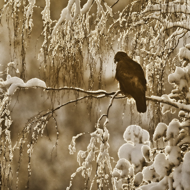 """""""The eagle watches from a snow filled tree"""" stock image"""