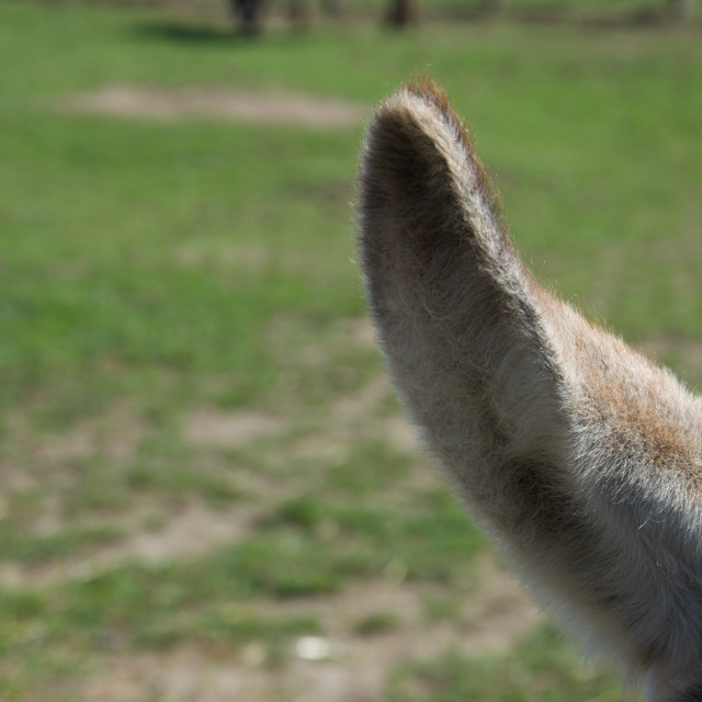"""""""Close up of a furry donkey's ear against a green field"""" stock image"""