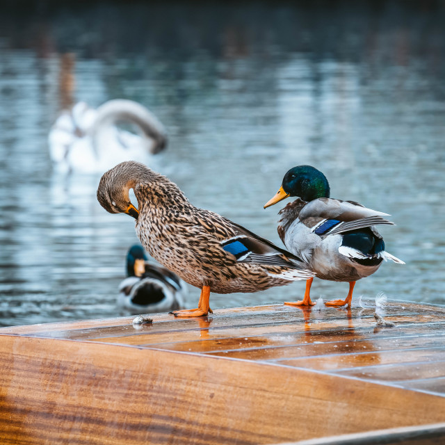 """""""Ducks on a Punt"""" stock image"""