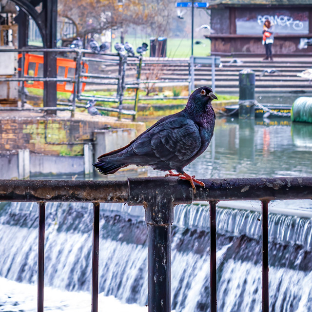 """""""A Watchful Pigeon"""" stock image"""