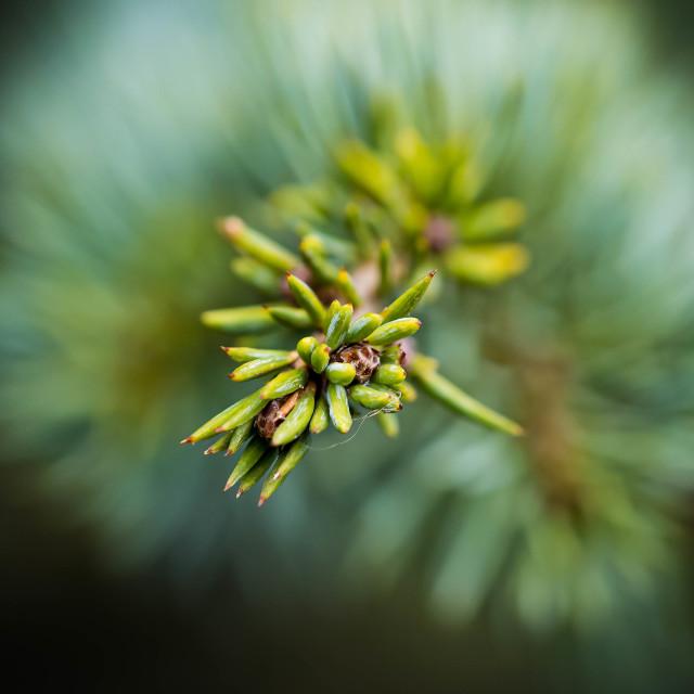 """Conifer Tree in Macro"" stock image"