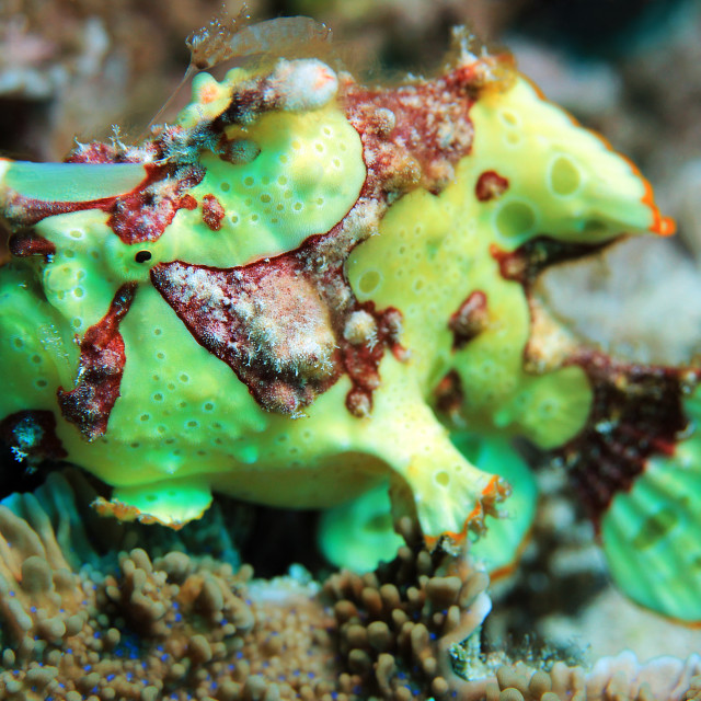 """Clown Frogfish"" stock image"