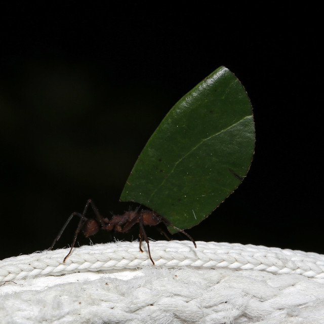 """Leafcutter Ant"" stock image"
