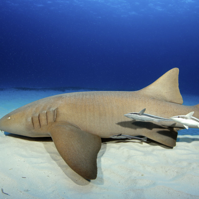 """Nurse Shark"" stock image"