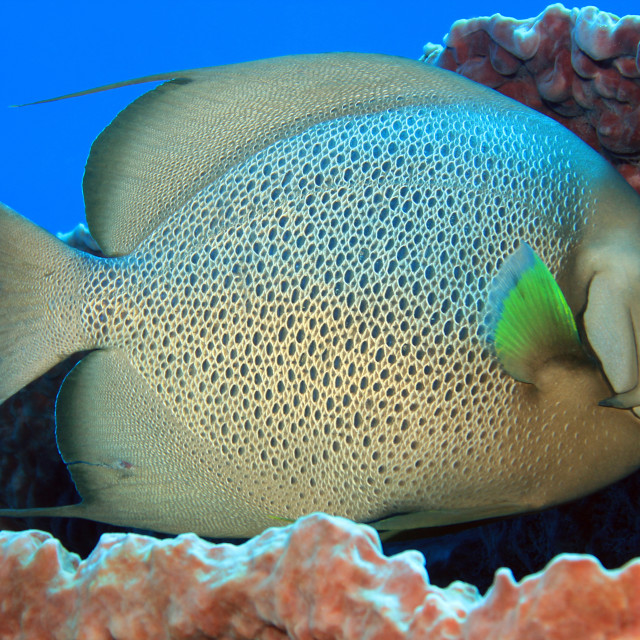 """Gray Angelfish"" stock image"