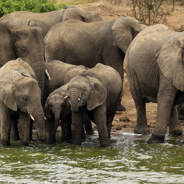 """Elephants by River"" stock image"
