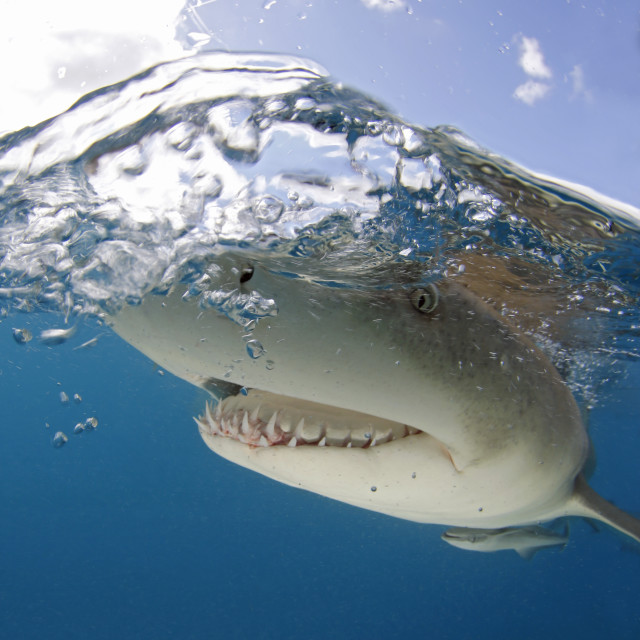 """Lemon Shark Close-up Split Shot"" stock image"