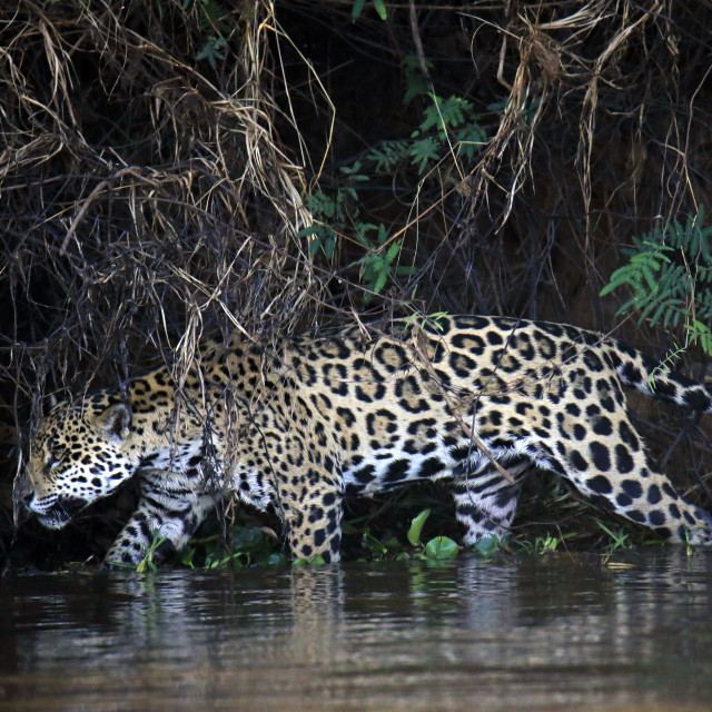 """Jaguar in Water"" stock image"