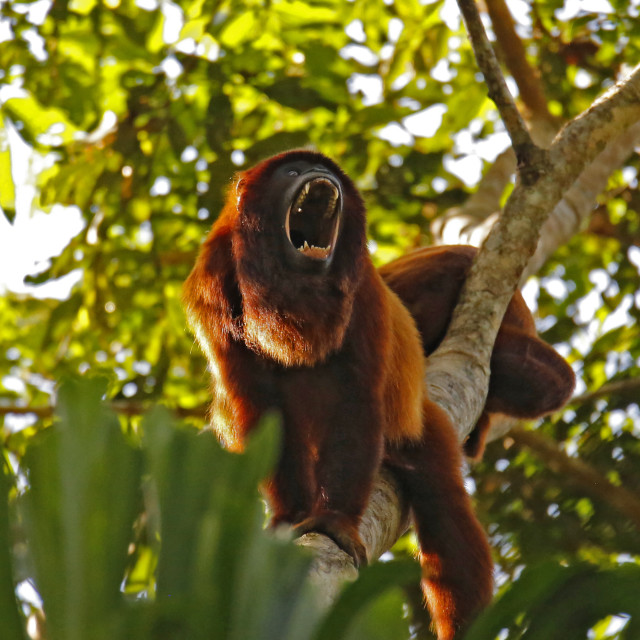"""Howler Monkey"" stock image"