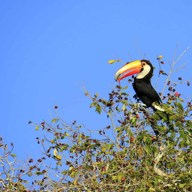 """Toucan in Tree"" stock image"