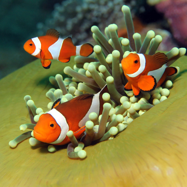 """Western Clown Anemonefish"" stock image"