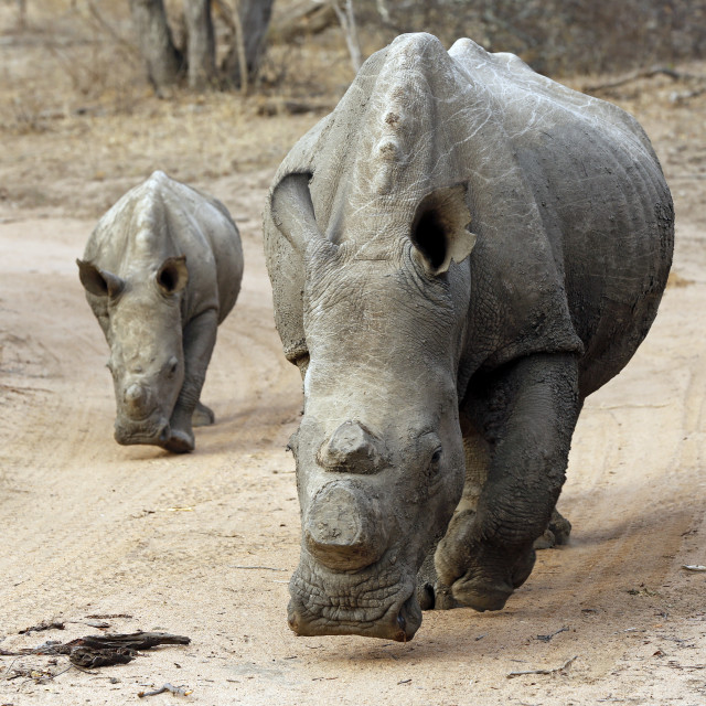 """Rhino with Calf"" stock image"