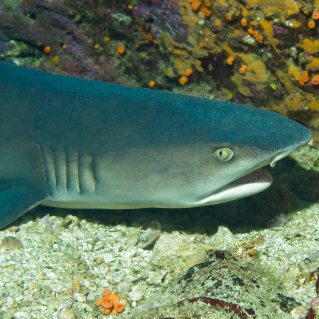 """White-tip Reef Shark"" stock image"