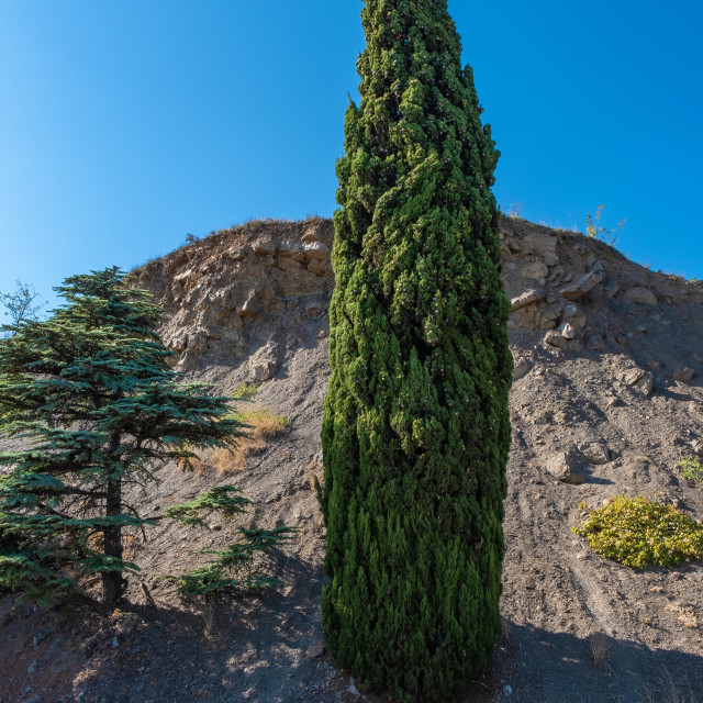 """""""Original tall slender cypress against the background of a cliff"""" stock image"""