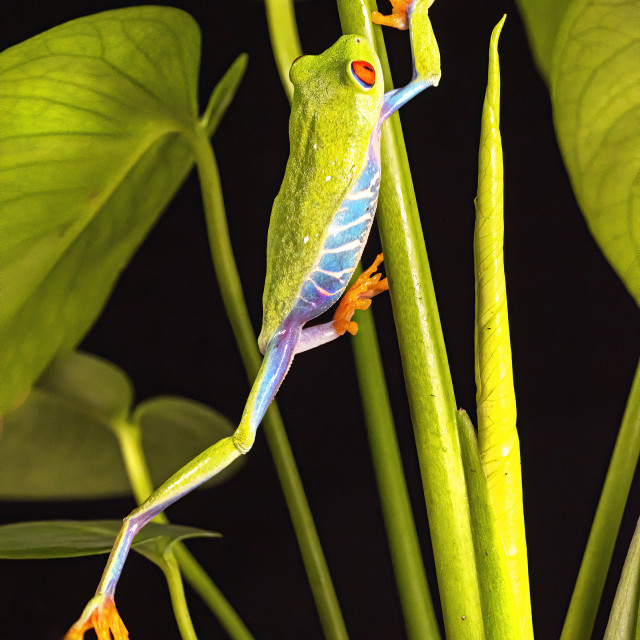 """""""Red Eyed Tree Frog"""" stock image"""