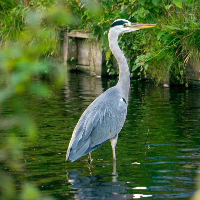 """Urban Heron Bird"" stock image"