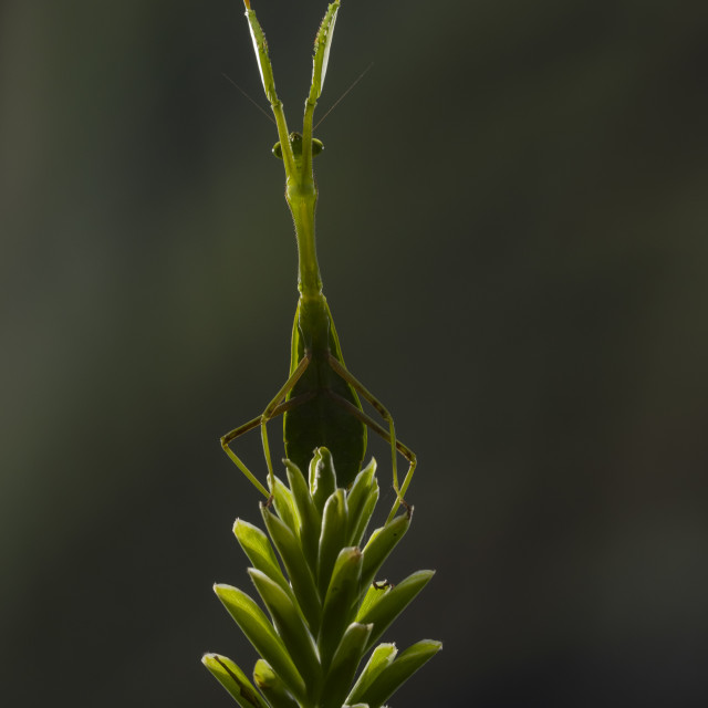 """""""A praying mantis standing on a flower"""" stock image"""