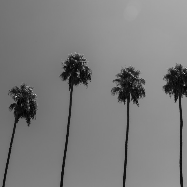 """Palm Trees, Los Angeles"" stock image"