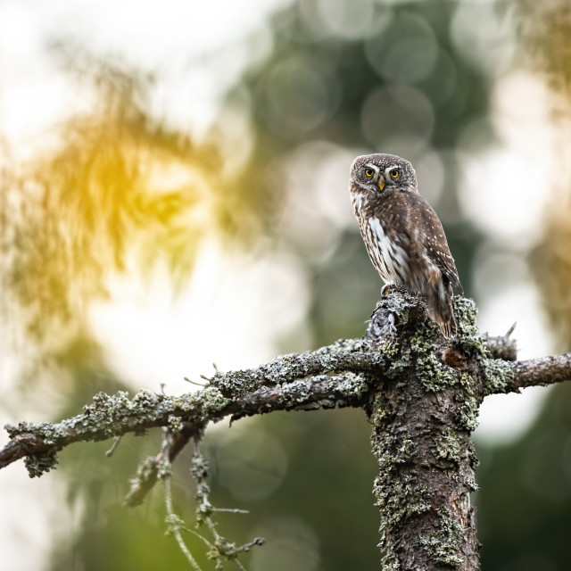 """""""Beautiful small eurasian pygmy-owl perched on a stump in the forest"""" stock image"""