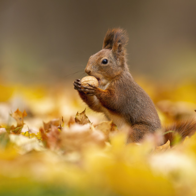 """""""Little red squirrel eating a walnut among the dry autumn leaves"""" stock image"""