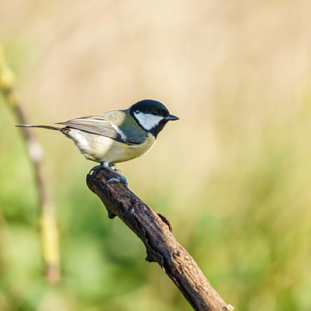 """""""Great Tit (Parus major) perched on a dead branch, taken in the UK"""" stock image"""