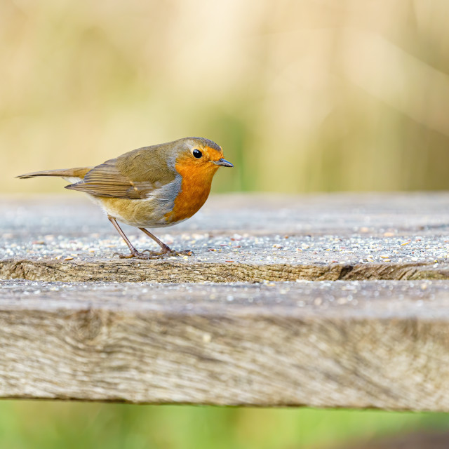 """""""European Robin (Erithacus rubecula) on a bench covered in seeds, taken in London"""" stock image"""