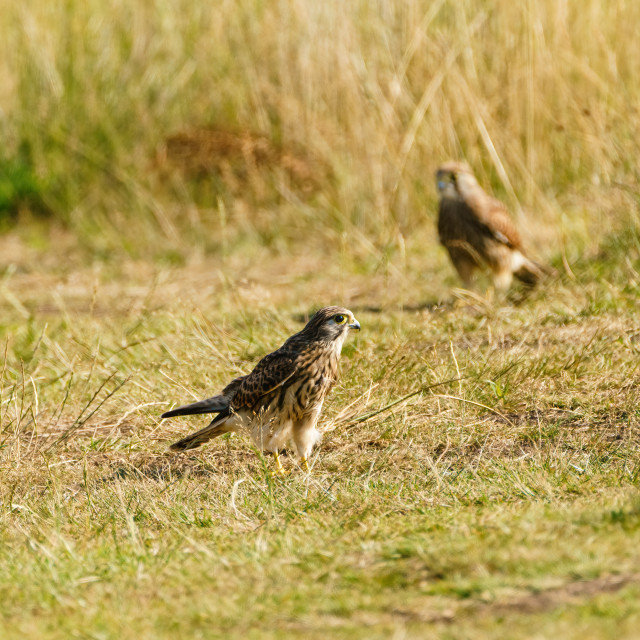 """Common Kestrel (Falco tinnunculus) juvenile hunting on the ground for..."" stock image"