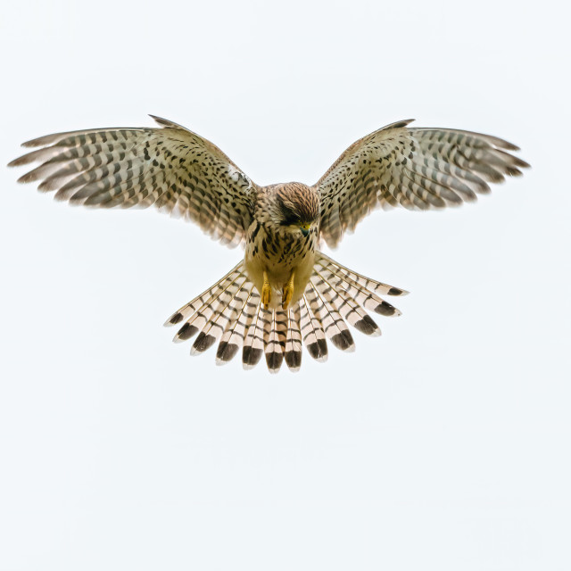 """Common Kestrel (Falco tinnunculus) hovering while searching for prey below,..."" stock image"