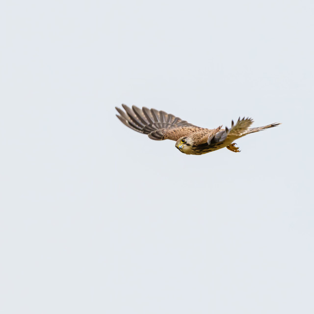 """Common Kestrel (Falco tinnunculus) in flight, looking to camera, in the UK"" stock image"