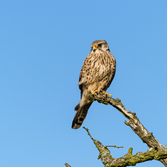 """Common Kestrel (Falco tinnunculus) onm a dead stump, in United Kingdom"" stock image"