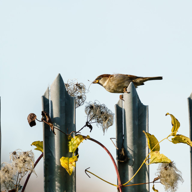 """""""House sparrow (Passer domesticus) pulling a seed from a bush, taken in the UK"""" stock image"""