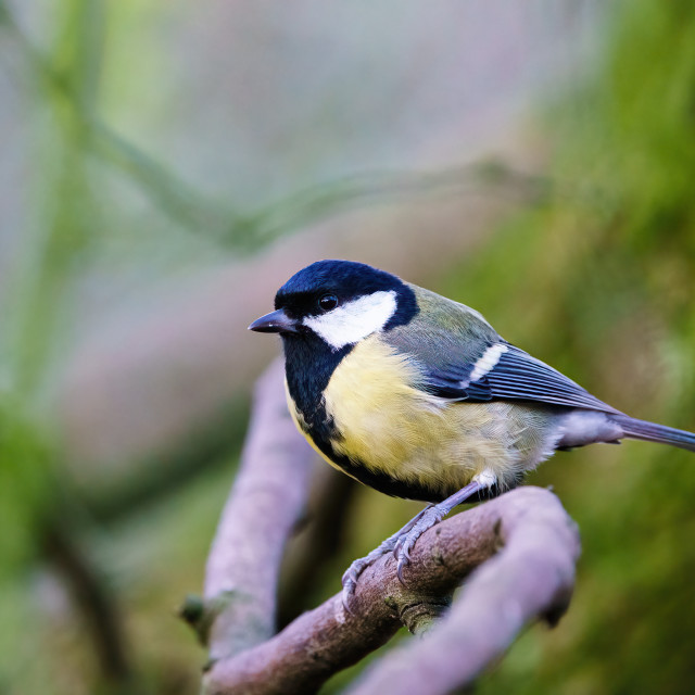 """""""Great Tit (Parus major) sitting on a branch, taken in the UK"""" stock image"""