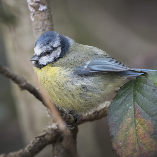 """""""Blue Tit in winter"""" stock image"""