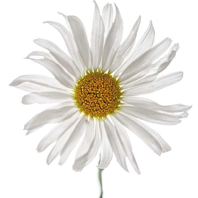 """""""daisy high key"""" stock image"""