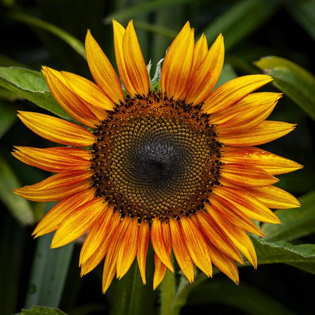 """closeup sunflower"" stock image"