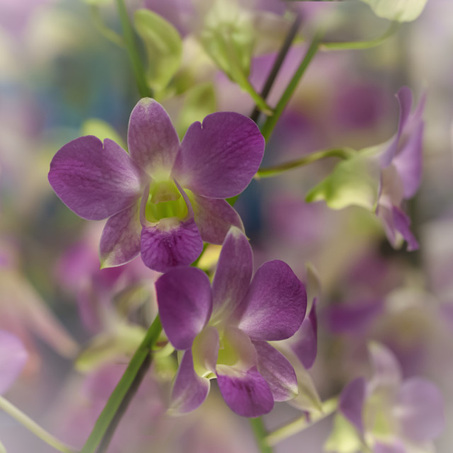 """""""orchid flowers"""" stock image"""