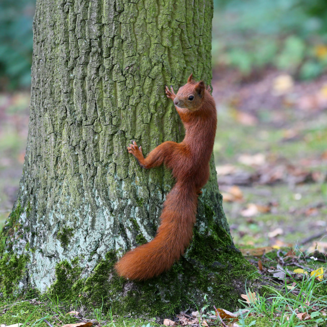 """""""The squirrel is a resident of city parks ."""" stock image"""