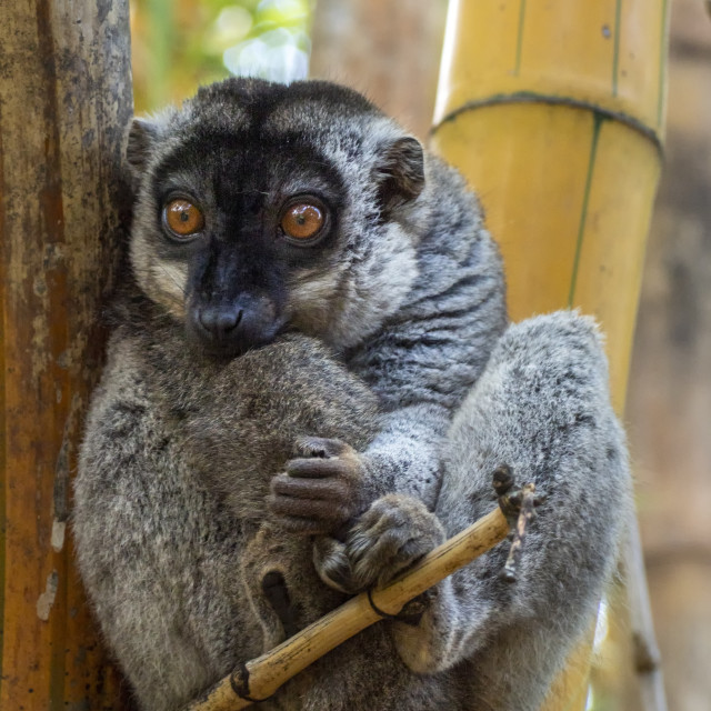 """Bamboo Lemur"" stock image"