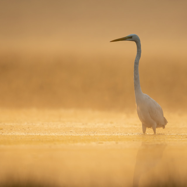 """Great Egret in misty Morning"" stock image"