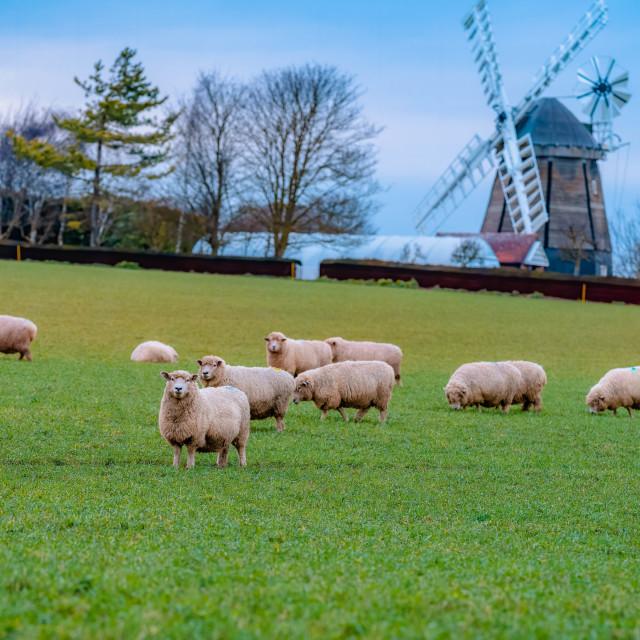 """Sheep from Fulbourn Cambridge UK"" stock image"