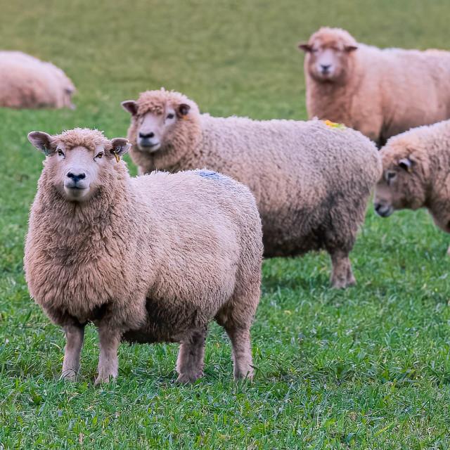 """""""Sheep Grazing."""" stock image"""